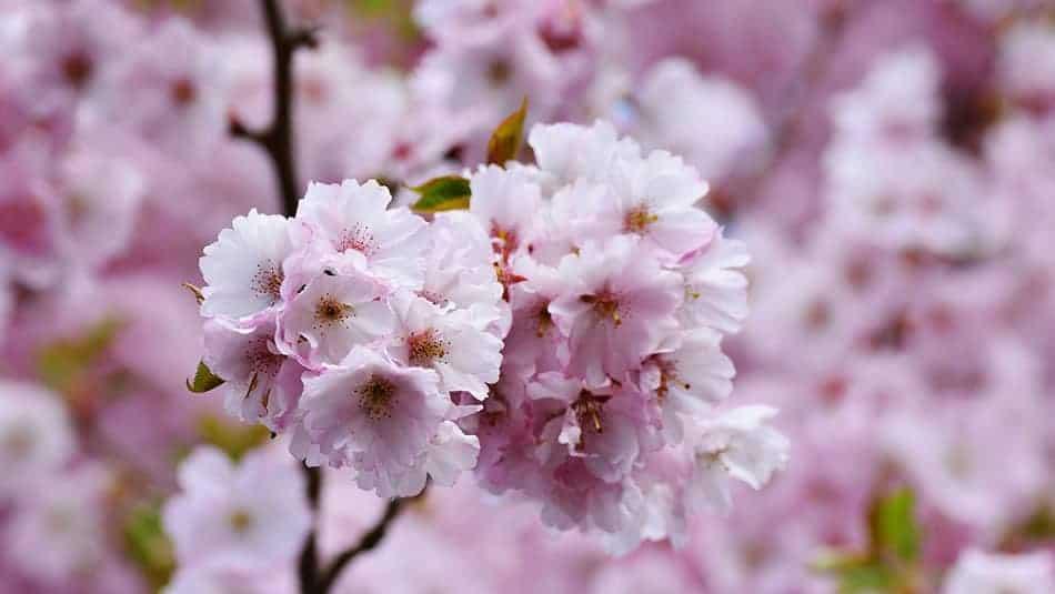 Cerisier japonais pour jardin zen