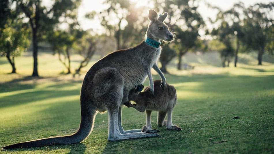 Séjour en Australie - voir des kangourous